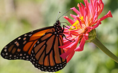 Are Butterflies Just Beautiful?