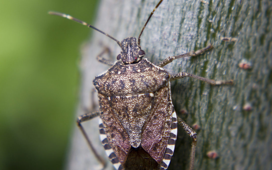 How To Stop A Stink Bug Invasion In Its Tracks