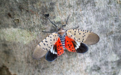 Look Out, The Lanternflies Are Coming!