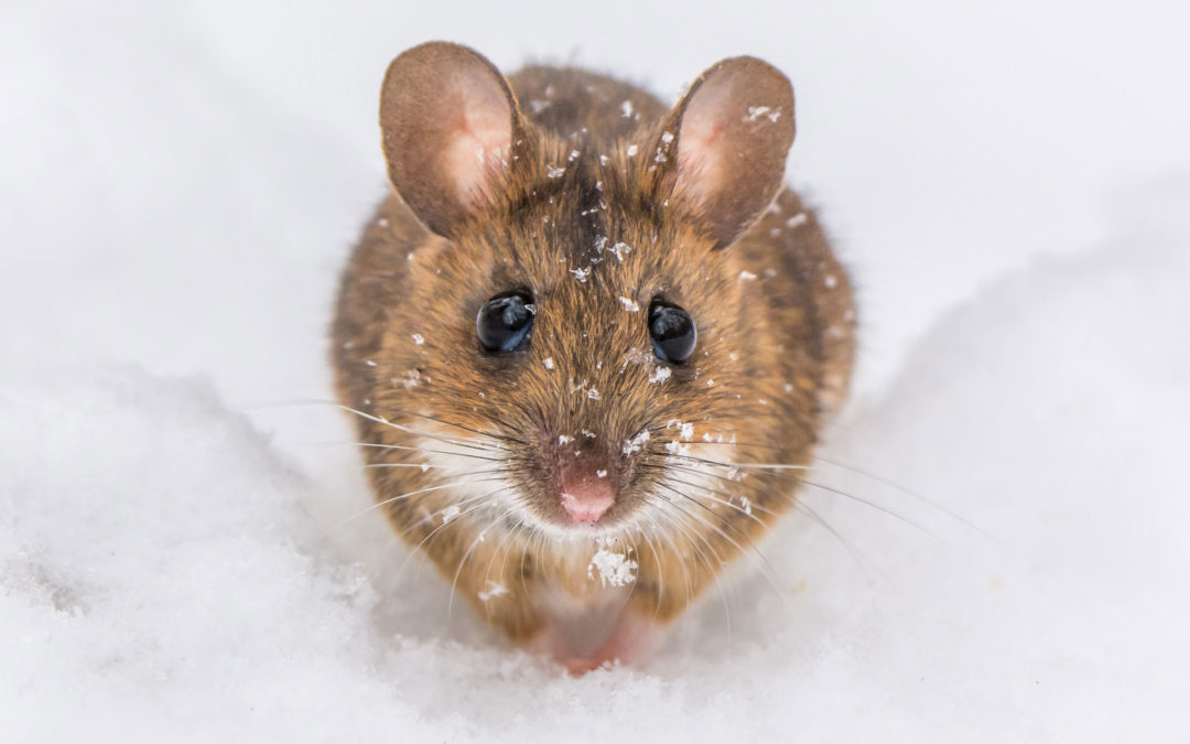 How to Protect Your Home from Mice
