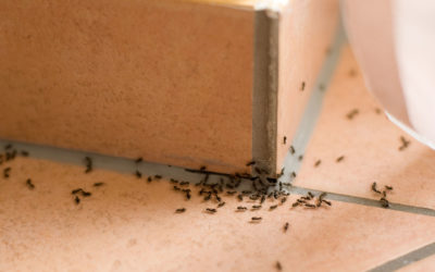The Invasion of the Odorous House Ants