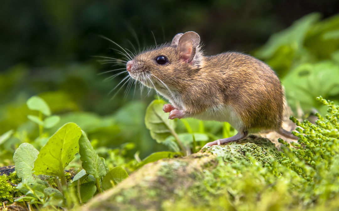 Field Mice The Unwanted House Guests Eco Care Pest