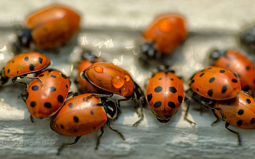 How To Get Rid Of A Ladybug Infestation