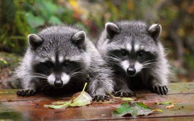 How To Avoid A Raccoon Invasion, And What To Do If You Have One